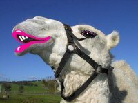 Shark Bay Camel Rides - credit website